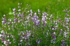 fältet blommar sommar Royaltyfri Foto