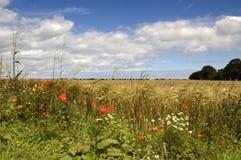 fältet blommar sommar Arkivbild