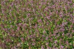 fältet blommar tijm Royaltyfri Bild