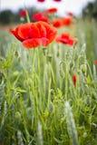 fältet blommar vallmored Arkivbild
