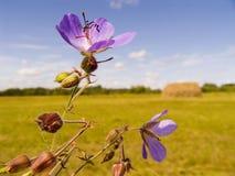 fältet blommar violeten Arkivfoto