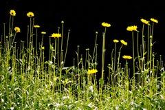 fältet blommar yellow Royaltyfri Bild