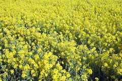 fältet blommar yellow arkivbilder