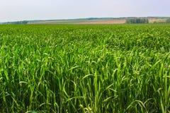 Fältet för grönt gräs Arkivbilder