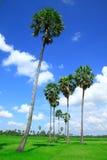 fältet gömma i handflatan sockerthailand trees Arkivfoto
