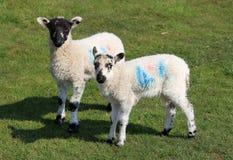 fältet lambs två barn Royaltyfria Bilder