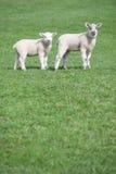 fältet lambs två barn Royaltyfri Foto