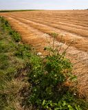 Fältet med brunt klippte lin i rader som torkar i solen arkivbilder