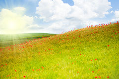 Fältet med den röda vallmo blommar i Italien Fotografering för Bildbyråer