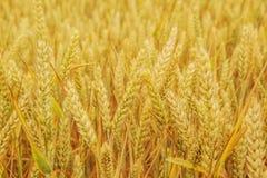 Fältet med guld- moget vete gå i ax tätt upp Fotografering för Bildbyråer