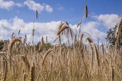 Fältet med många öron av strålen under blåa himlar med härliga moln Royaltyfri Foto
