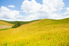 Fältet med vallmo blommar i Italien Arkivfoto