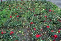 Fältet parkerar in mycket av blommande rosor Royaltyfri Bild