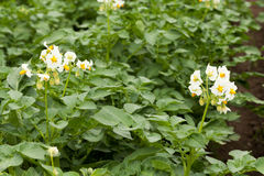 fältet planterar potatisen Arkivbild