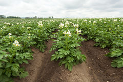 fältet planterar potatisen Fotografering för Bildbyråer