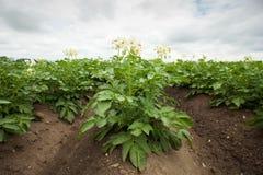 fältet planterar potatisen Royaltyfri Foto