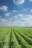 fältet rows soybeanen Arkivbild