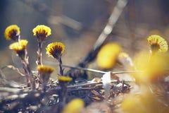 Fältet som väx på den gula blommatussilagot arkivfoto