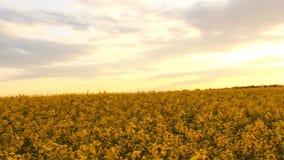 fältet våldtar solnedgång Våldta blommanärbildskymt av den guld- solen arkivfilmer