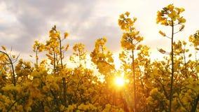 fältet våldtar solnedgång Våldta blommanärbildskymt av den guld- solen stock video