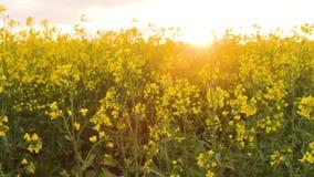 fältet våldtar solnedgång Våldta blommanärbildskymt av den guld- solen lager videofilmer