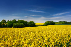 fältet våldtar yellow Arkivfoton