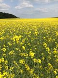 fältet våldtar yellow Arkivbilder