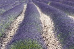 fältfrance lavendel södra provence Royaltyfri Fotografi