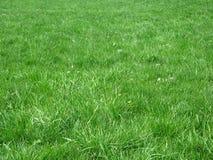 fältgräs Arkivbild