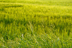 fältgräs royaltyfri bild