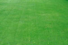 fältgräs Arkivfoto