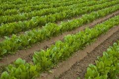 fältgrönsallat Arkivfoto