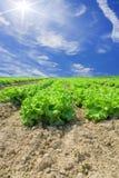 fältgrönsallatgrönsak arkivfoton