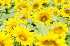 fältgriphorisontalskjuten liten solros Royaltyfri Foto