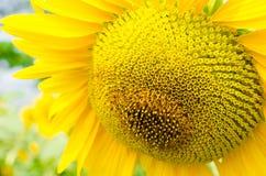 fältgriphorisontalskjuten liten solros Fotografering för Bildbyråer