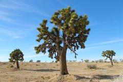 fältjoshua tree royaltyfria bilder