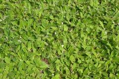 fältmuizenoortjeväxter royaltyfri foto