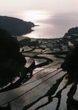 fältpaddy Arkivbilder