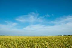 fältpaddy Arkivfoto