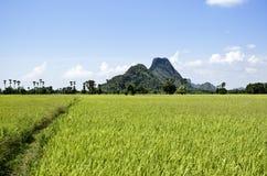 fältrice thailand Arkivfoto