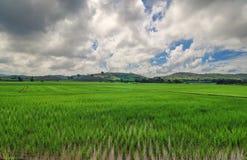 fältrice thailand askfat Landskap med stormig himmel över risfälten Royaltyfri Foto