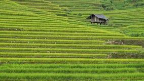 fältrice vietnam Arkivbilder