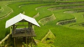 fältrice vietnam Arkivfoto