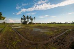 Fältrisfält Fotografering för Bildbyråer