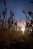 fältsolnedgångvete arkivfoto