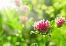 Fältväxt av släktet Trifolium under solstrålar, design Arkivbild