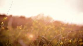Fältväxter som svänger till vinden lager videofilmer