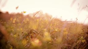 Fältväxter som svänger till vinden stock video