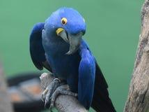 Fängslande blått och guling Hyacinth Macaw Parrot på en filial Royaltyfria Foton