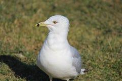 Fängslande blick av seagullen som väntar på dess mat royaltyfri bild